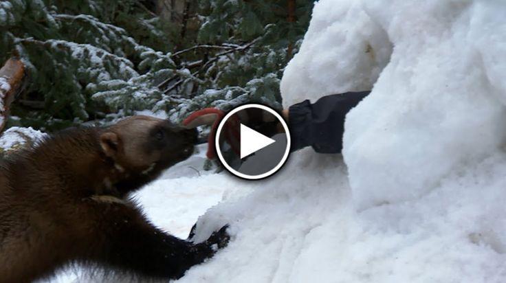 """Glutonul sau cum mai este numi """"jderul flămânzilă"""", este un mamifer nordic cu blană foarte prețioasă de culoare brună-deschisă. El seamănă cu un urs mic și trăiește în zonele izolate, așa cum ar fi taigaua sau tundra.Greutatea glutonilorvariază între 15 și 18 kilograme și ei se hrănesc exclusiv cu carne. Deși sunt animalele sălbatice, glutoniipot fi foarte prietenoși cu oamenii și manifesta față de ei un viuinteres. Acest lucrui-a făcut pe oameni să încerce să-i dreseze pe glutoniși…"""