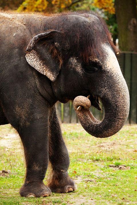 Des Animaux, Asie, Brown, Dents, Éléphant, Herbivore