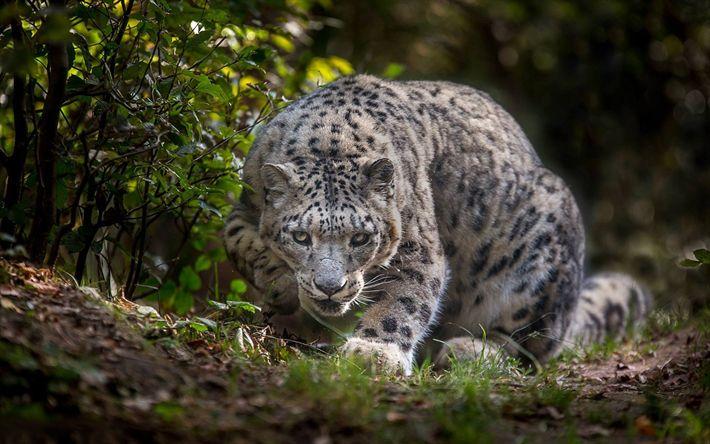 Download wallpapers Snow leopard, wildlife, Irbis, wild cat, dangerous animals