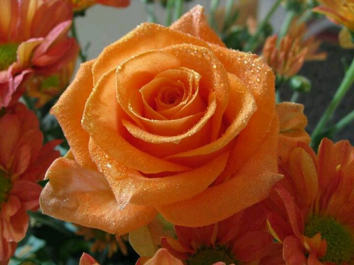 An orange Rose... *:)