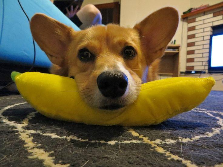 """A banana is not just a banana."" - Juan Fernando Aguilar, botanist. Cute Pembroke Welsh Corgi corkidorki demonstrates the Pillow Banana, via Corgi Addict."