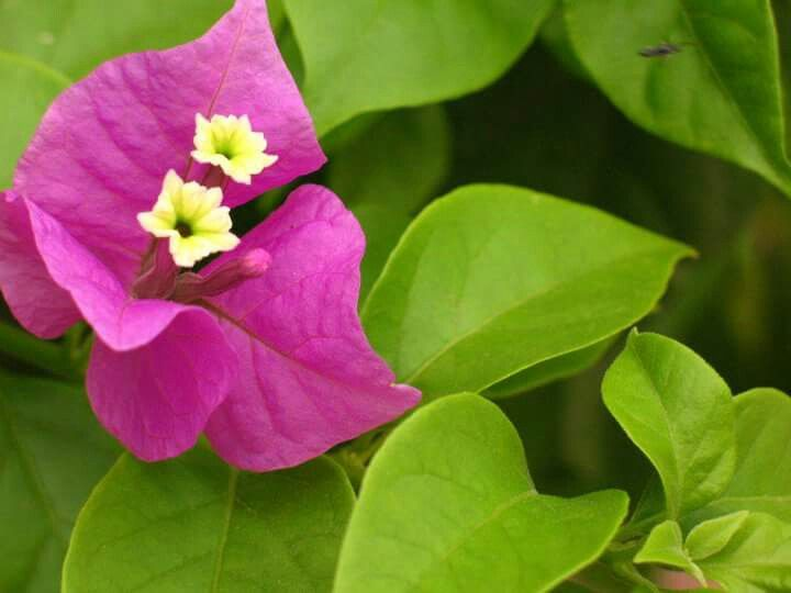 The 11 best princess and the frog images on pinterest bougainvilleae paper flower mightylinksfo