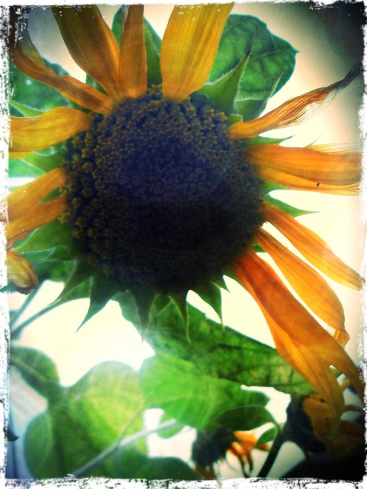 Photograph sunflower by Esté Smit