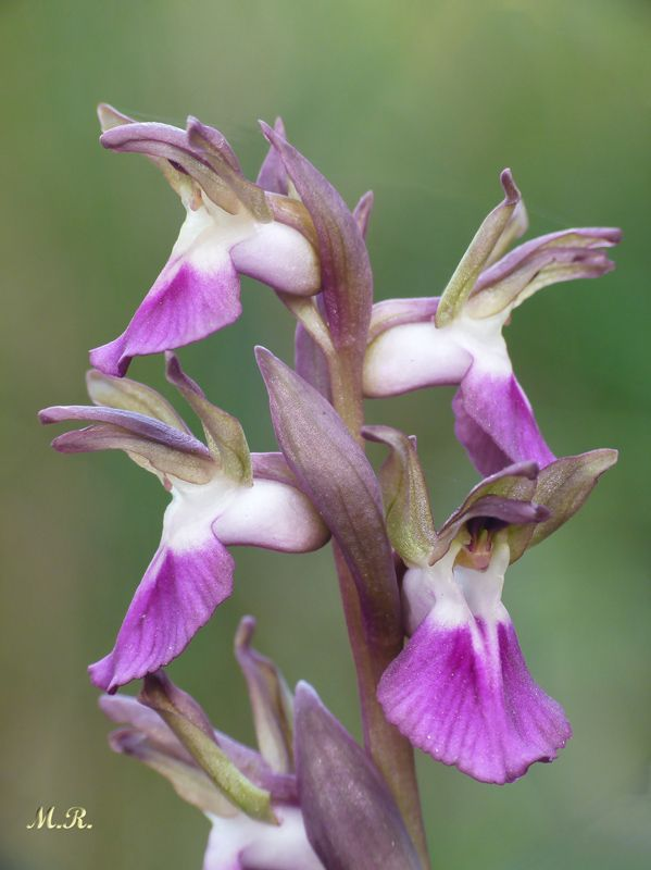Anacamptis collina (Orquídea pobre)