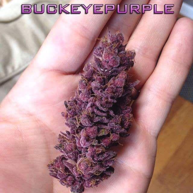 Bud of the day Today we show u the Buck Eye Purple... #Cannabis #Marijuana #Weed…