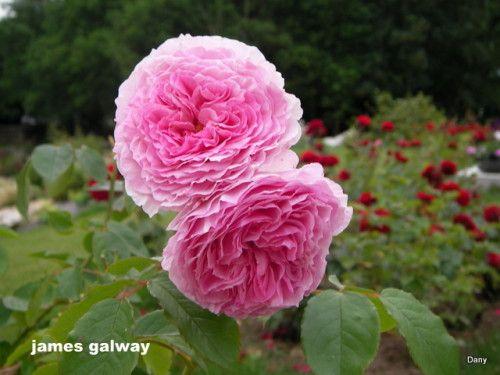 Les 25 meilleures id es de la cat gorie arbuste a fleur for Entretien d un bougainvillier