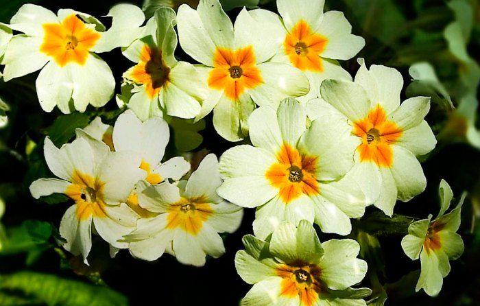 Primulas blancas - Consulta el calendario de Octubre para tu jardín en: http://www.floresyplantas.net/calendario-del-jardin-en-octubre/