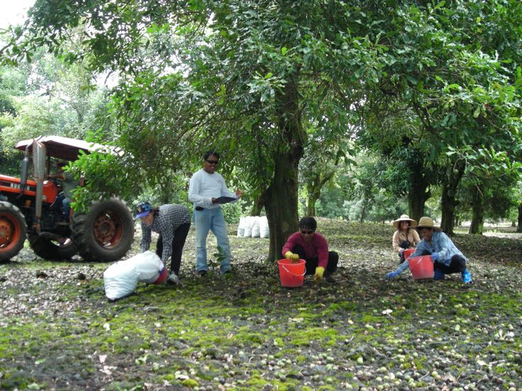 Island Princess Employees Harvesting Macadamia Nuts off the ground in our Orchard location on the Big Island