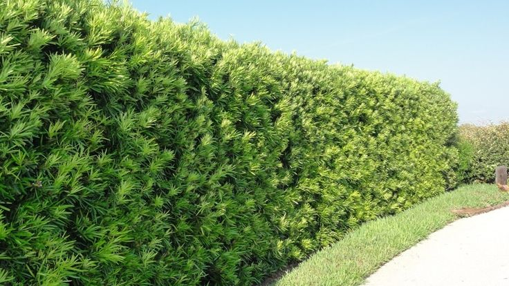 """Japanese Yew/Fern Pine 'Maki"""" (Podocarpus Macrophyllus) - Zone 7-10 Full Sun-Full Shade. 20'-35' tall and 10'-15' wide.Can become very large (50'x30') if left alone to grow undisturbed. Evergreen can be pruned to hedge, topiary, or espalier form. Drought tolerant. Slow growth, but very dense. Perfect to create that dense plant wall. Don't plant too close to house, pools, patios/drives, sewer/septic, etc.Propagate by spring hardwood cuttings, use root hormone in potting soil; easy to root."""