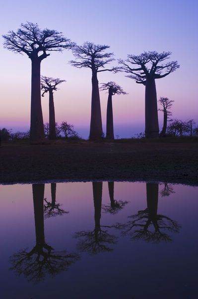 "Baobab alley, Morondava, Madagascar"" by Michel Therin-Weise"