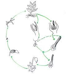 the 25  best life cycle of fern ideas on pinterest