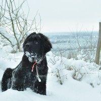 #dogalize Razze cani: il cane Terranova carattere e prezzo #dogs #cats #pets