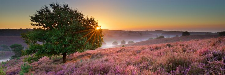 Sunrise over blooming heather at the Posbank in Veluwezoom National Park Netherlands [OC] [2048x1824]