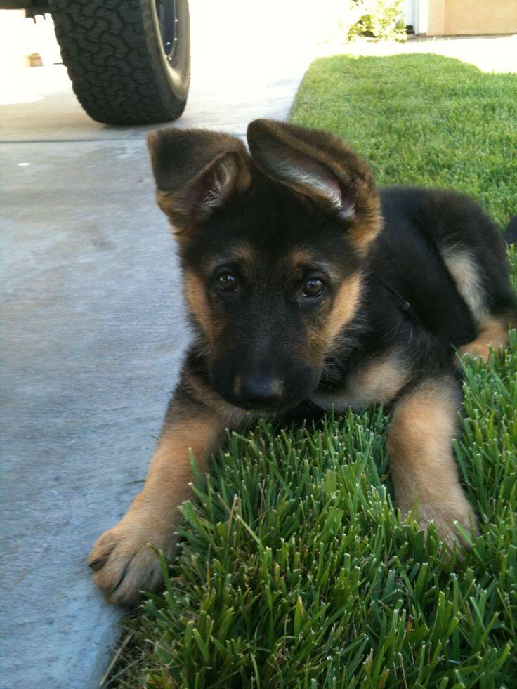German shepherd pup>>> I would LOVE to have a German shepherd.