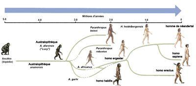 La lignée de l'évolution humaine
