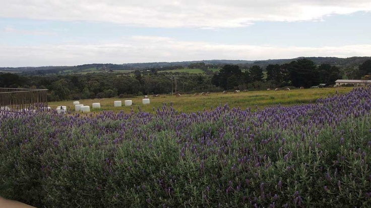 A massive amount of lavender surround the house and gardens.