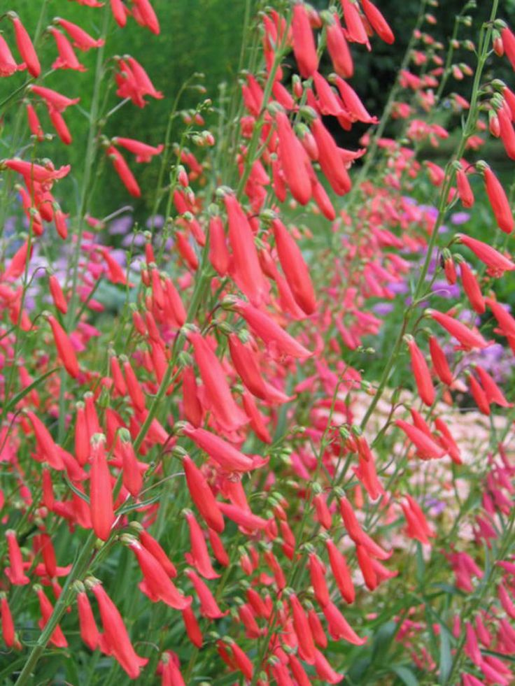 Penstemon barbatus is a flowering plant with spikes of clustered flowers. Self seeds and xeric. Found in drawings 2,3,4,5,7,8,9,10,13,16