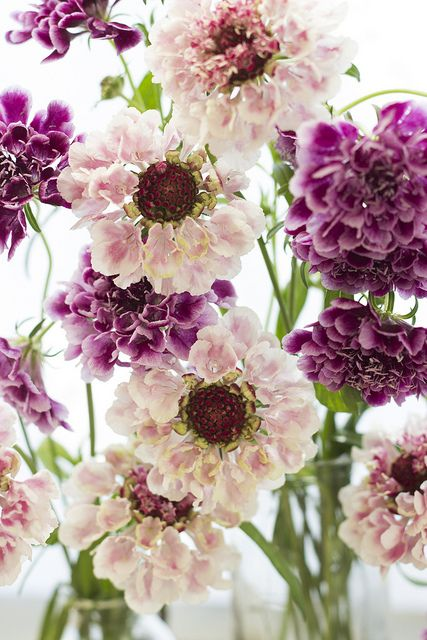 Scabiosa---they say an easy summer cottage garden plant. I just want to find out where I can get them! Lovely!!