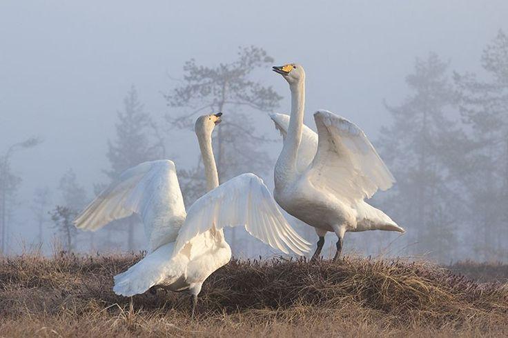 Whooper swans  Kari Järviluoto: Kevään kiihkoa..