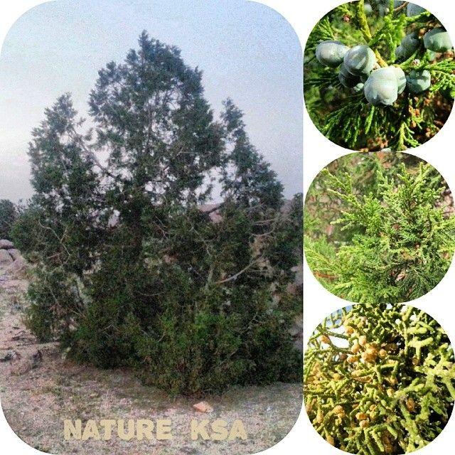 شجر العرعر Plants Saudi Arabia Nature