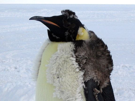 The emperor #penguin here is losing its fluffy feathers as new ones grow in underneath.