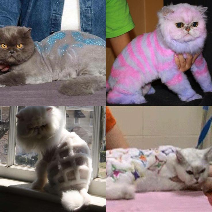 Persian cat grooming nyc