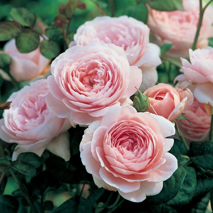 Queen of Sweden - Enjoy beautiful blooms all summer long