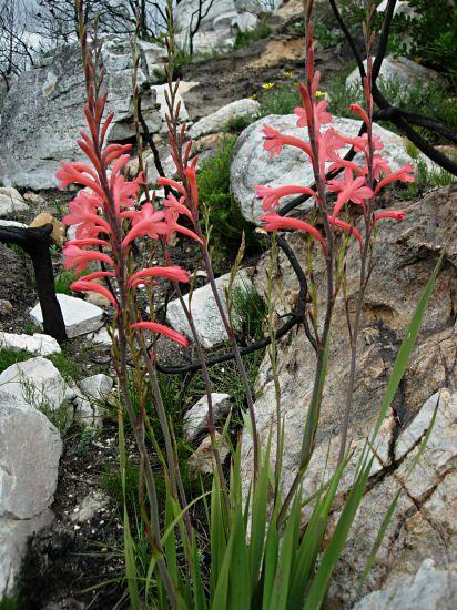 Watsonia fourcadei