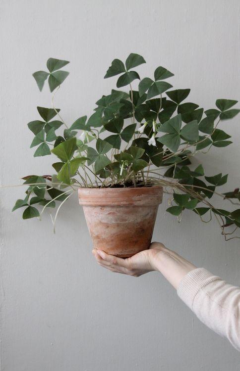Oxalis indoor plant//
