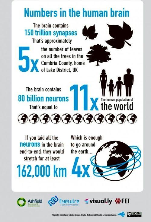 neuromorphogenesis:  How Big Is The Brain? Here's Some...
