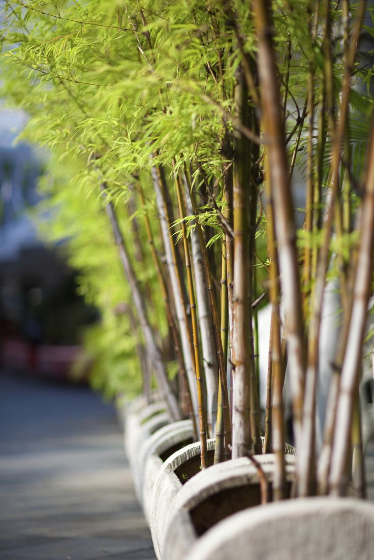 Best 25 Growing bamboo ideas on Pinterest How to grow bamboo