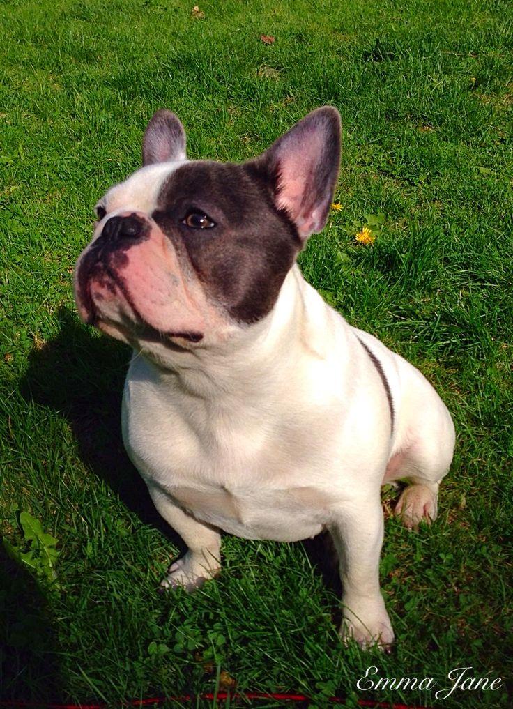 French bulldog Emma Jane frenchie