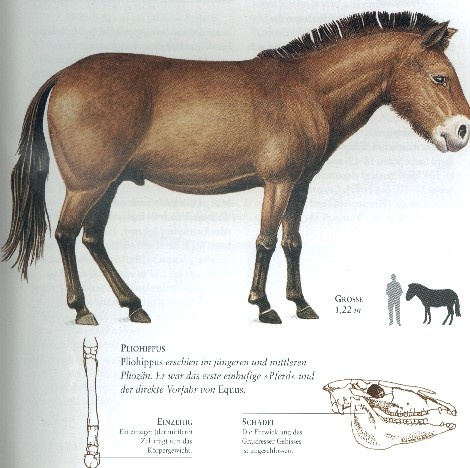 17 Best images about Prehistoric Horses on Pinterest ...