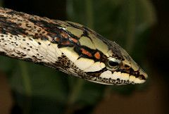 Twig Snake (Thelotornis capensis) (cowyeow) Tags: africa macro face danger southafrica weird dangerous head snake african safari twig swaziland herp herps venomous venom herpetology capensis treesnake herping snakehunting thelotornis nsoko thelotorniscapensis niselasafaris nisela