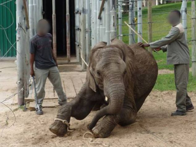South African elephant park accused of 'horrific' cruelty after video shows young animals being chained, shocked with electric cattle prods and hit with bulls hooks. Read & see more: http://www.dailymail.co.uk/news/article-2634746/South-African-elephant-park-accused-horrific-cruelty-video-shows-young-animals-chained-shocked-electric-cattle-prods-hit-bulls-hooks.html#ixzz32WXwodix