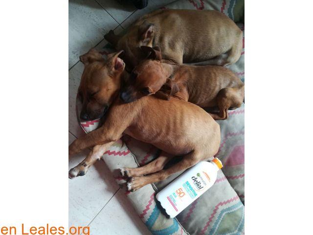 Perros en adopción  España  Las Palmas - Gran Canaria  Las Palmas G.C. March 05 2018 at 07:11PM   Buscan Acogida!!  #ADOPCIÓN  Contacto y Info: https://leales.org/animales-en-adopcion/perros-en-adopcion/buscan-acogida_i3597 #Difunde en #LealesOrg un #adopta y sé #acogida para #AdoptaNoCompres O un #SeBusca de #perro o #gatos; #perdido o #encontrado ℹ Estos cachorros han estado ingresado por parvoesta semana le dan el alta y necesitan una casa de acogida donde finalicen su recuperación. Les…