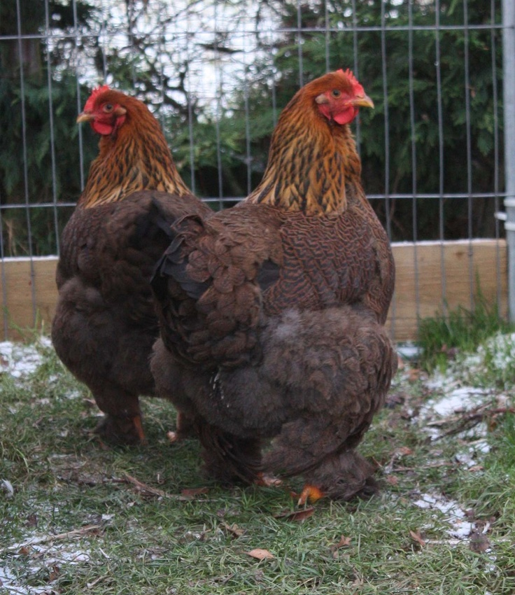 Partridge Cochin Hens - look at their butts!!!