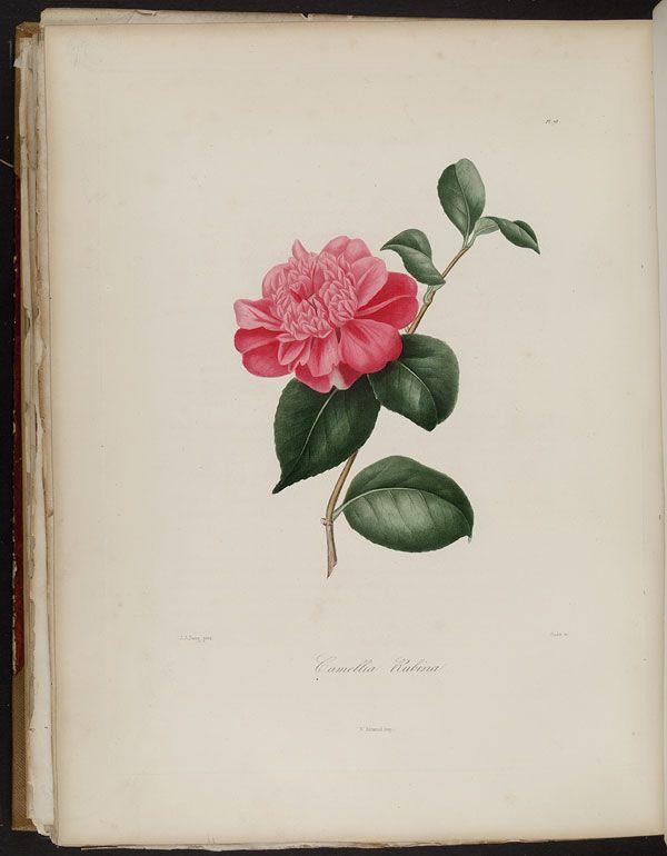 Image of Illustration of Camellia Rubina