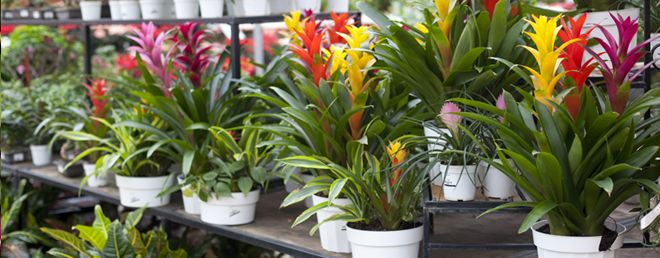 information about bromeliads how to care for them and what to do with them when they finish. Black Bedroom Furniture Sets. Home Design Ideas