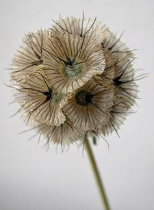 Scabiosa Pods - look like dandelions and won't blow away!