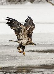 Juvenile Bald Eagle taking off with fish.