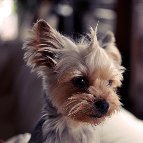 Yorkie Pup... you shou...