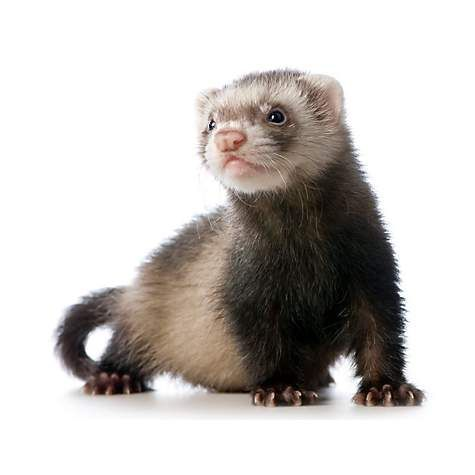 Ferrets for Sale: Live Pet Ferrets for Sale | Petco