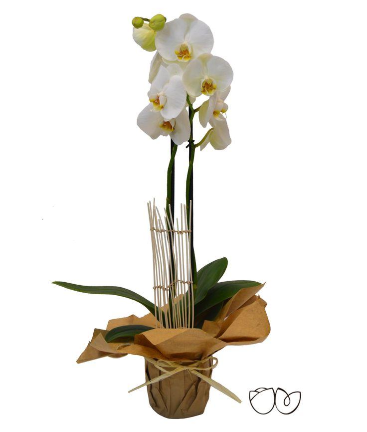 * Planta de Orquídea Blanca * La Orquídea Phalaenopsis es un detalle ideal para demostrar el afecto a una persona querida que se sorprenderá por la gran belleza y sutileza de esta planta.
