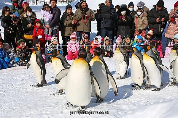 Penguin Walk at Asahiyama Zoo in Asahikawa, Japan as a Framed 10x8 (25x20cm) Print