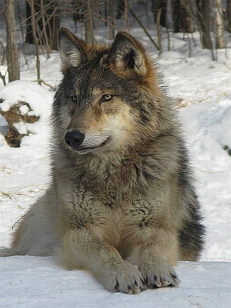 White Wolf: Tribal Council declares White Earth Reservation a wolf sanctuary