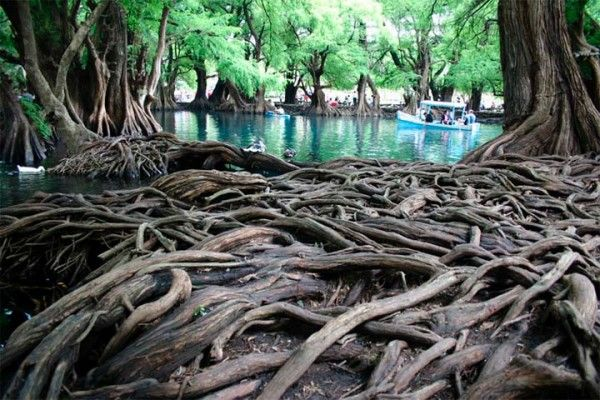 raízes: Roots, Mexico, Lake Camecuaro, Lakes, Michoacan Area, Place, Cypress Trees, Photo, Trees Standing