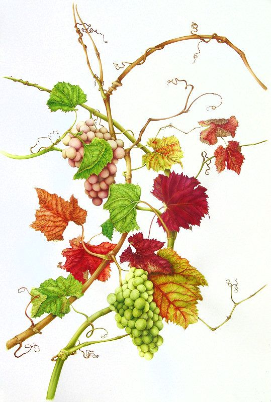 Vitis vinifera, Botanical Illustration by Milly Acharya