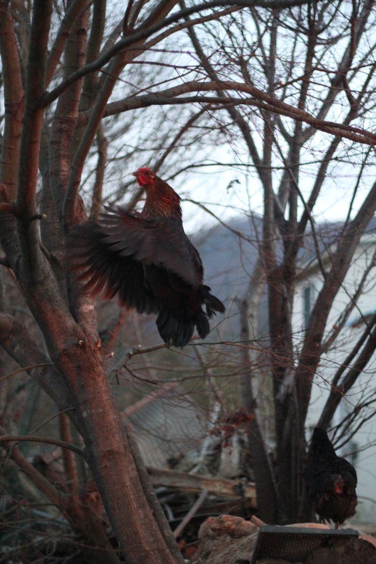 닮 모임에 늦은 의장 닭 날개를 활짝펴고  힘차게 날아오릅니다.
