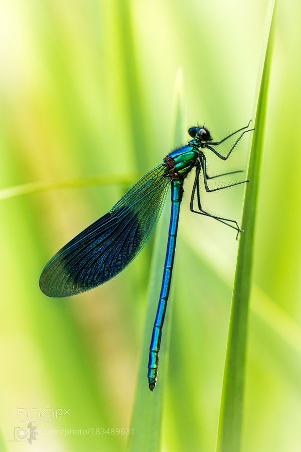 Dragonfly - Calopterygidae - by thomas170189 - Colors:  Green, Blue, Black